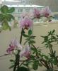 phalaenopsis-witertraum-2